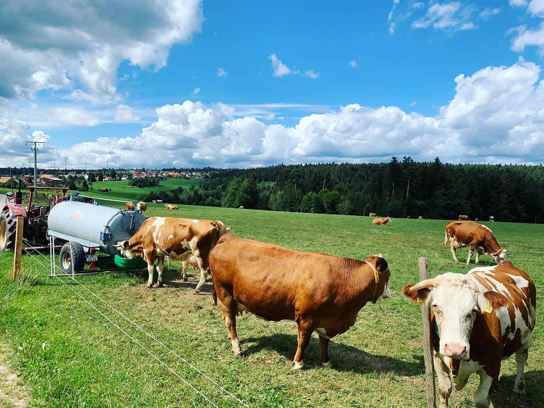Koeien in Duitsland